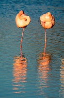Two Sleeping Flamingoes Camargue France