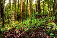 Otway National Park rainforest