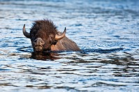 The American bison Bison bison, a.k.a. American buffalo, swimming across the Yellowstone River, Yellowstone National Park, USA