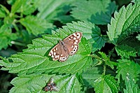 Speckled Wood, Pararge aegeria on nettle