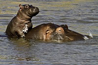 Hippo baby enjoying life on mum´s back