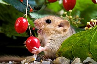 Common Dormouse, muscardinus avellanarius, Adult Eating Berry, Normandy