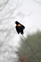 A Red Winged Blackbird letting his feelings be known