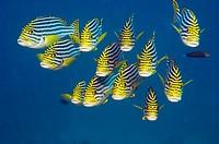 Oriental sweetlips Plectorhinchus vittatus  Maldives