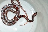 common wolf snake baby, Lycodon aulicus,Poona ,Maharashtra,India