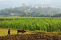 Farmer plowing fields with Bull Ox on rich valley farmland at Yanggancun hilltop village China