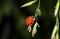 Asian Multicolored Lady Beetle  Harmonia axyridis