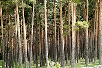 Forest of common pine in Orea, Guadalajara, Spain