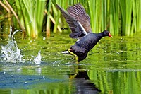 Common Moorhen or European Moorhen, gallinula chloropus, Adult Taking off from Pond, Normandy