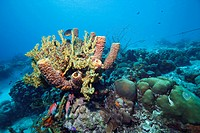 Coral reef in the Caribbean Sea around Bonaire, Dutch Antilles