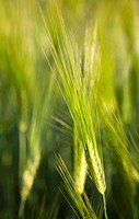Closeup of growing barley ears, hordeum vulgare. Location Suonenjoki Finland Scandinavia Europe.