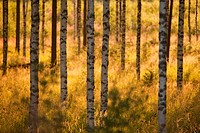 Young birch, betula, trees at evening sun. Location Suonenjoki Finland Scandinavia Europe.