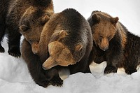 Eurasian brown bear Ursus arctos arctos female with two two_year_old cubs in the snow in winter, Bavarian Forest National Park, Germany
