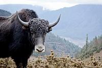 Wild Yak, Gangtey valley, Bhutan, Asia.