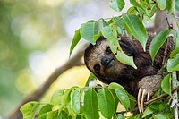 Three-toed sloth Bradypus variegatus foraging on Isla Carenero, Bocas del Toro, Panama