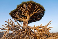 Broken Dragon´s Blood Tree Dracaena cinnabari, endemic to island, Diksam Plateau, central Socotra Island, listed as World Heritage by UNESCO, Aden Gov...