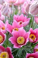 Pasque flower Pulsatilla vulgaris ´Rote Glocke´