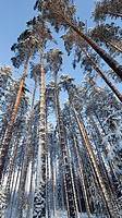 Pine, pinus sylvestris, forest  Location Mäkrä Suonenjoki Finland Scandinavia Europe