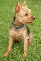 Pet Yorkshire Terrier dog wearinga blue collar, sitting outside in the grass