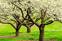 Three apple trees in bloom at the University of Minnesota Landscape Arboretum in spring