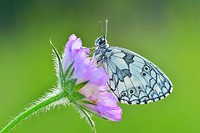 Butterfly, Marbled white, Melanargia galathea, sitting on a Blossom, Karlstadt, Franconia, Bavaria, Germany