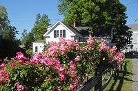 Roses on a fence in the town of Sandwich, Cape Cod, Massachusetts