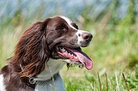Female Klein Munsterlander Heiderwachtel or German Springer Spaniel Head Shot