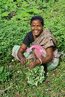 an indian woman cut the stems of a bunch of vegetable in dhapa district  kolkata  west bengal  india