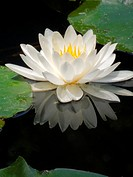 White water lily and reflection in pond