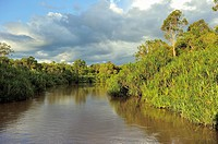 Sekonyer River with Pandanus Palms Pandanus spec , Province Kalimantan, Borneo, Indonesia