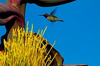 Hummingbird hovering near an Agave Flower