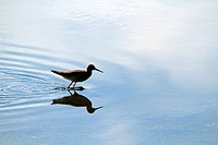 A sandpiper in partial silhouette walking through a saltmarsh  Richard DeKorte Park, Lyndhurst, New Jersey, USA