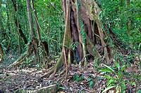 Rainforest, Gulung Mulu National Park, Borneo, Malaysia