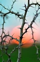Acacia thorns and red sun around Djenne  Mali