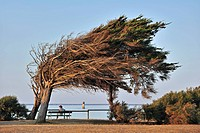 Windswept trees bent by coastal northern winds on the island Ile d´Oléron, Charente_Maritime, France