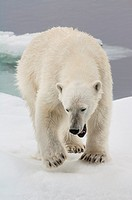 Female Polar bear Ursus maritimus, Svalbard Archipelago, Barents Sea, Norway