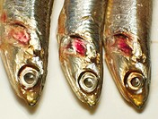 Cantabrian anchovies  Spain.