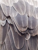 Griffon Vulture feathers  Gyps fulvus  Texture  Natural.