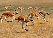 Red Kangaroo, macropus rufus, Australia, Group running