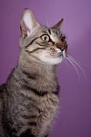 European cat with purple background