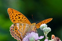 Silver-washed Fritillary - Argynnis paphia, Greece