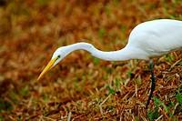 Great egret , Ardea alba syn  Casmerodius albus, Ardeidae, Ciconiiformes   Bird 80 cm high