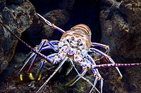 Caribbean Spiny Lobster, Panulirus argus  Camden Aquarium, Camden, New Jersey, USA