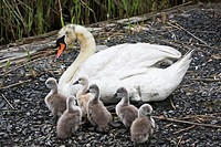 Mute Swan, Cygnus olor, with brood  Richard DeKorte Park, Lyndhurst, NJ, USA