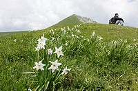 Narcissus and man in Charmant Som, Chartreuse, Isère, Rhône-Alpes, France.