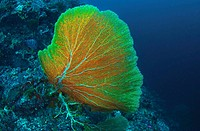 Gorgonian Sea Fan at Sipadan Borneo Malaysia