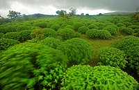 Karvi Plants in Amboli Western Ghat, India