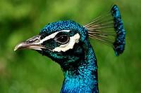 A peacocks head