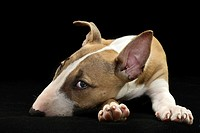 Puppy Bull Terrier on black background - Milan, italy