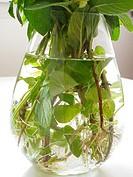 Mint in hydroponics